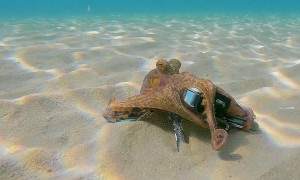 Octopus Grabs GoPro and Films Diver