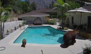 Mama Bear Enjoys a Dip in Residential Pool With Her Cubs