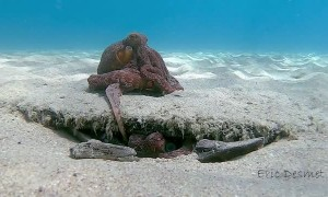 Young Octopus Attempts to Woo Mate