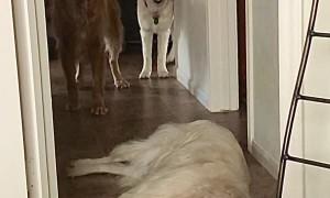 Golden Retriever Becomes Hallway Speed Bump