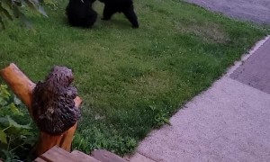 Two Bear Cubs Playing in the Yard