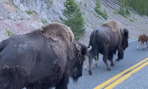 Protective Bison Herd Shields Calves From Traffic