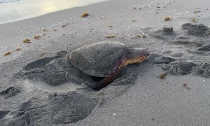 A Morning Beach-Side Turtle Rescue