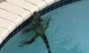 Iguana Stuck in Swimming Pool