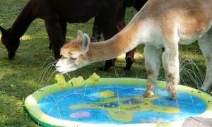 Alpaca Enjoys Splash Pool on a Summer Day