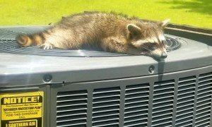 Raccoon Enjoys Breeze from Air Conditioner