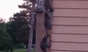 Racoon Family Forms an Orderly Line to Climb House