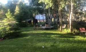 Young Moose Cools off in Sprinklers