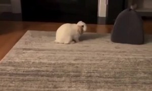 Clingy bunny begs for attention, other bunny not having it