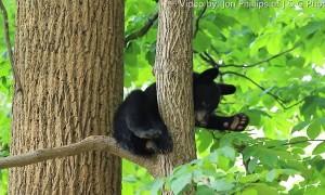 Little Bear Cub Fighting Sleep