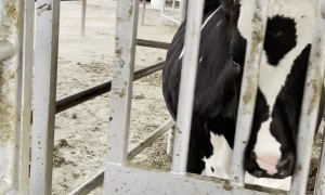 Cute Cow Has Fun with Sliding Door