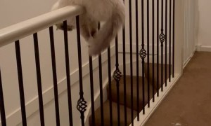 Silly Cat Balances on Stair Railing