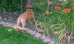 Deer Squares Up with Dog at Fence
