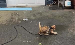 Bengal Cat Goes Wild for Water