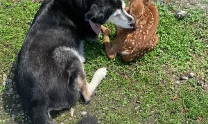 Caring Dog Shows Love to Injured Fawn