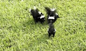 Baby Skunks Team up to Scare Snake Away