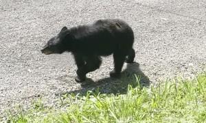 Family Coaxes Black Bear Out of Minivan