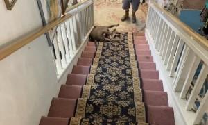 Pit Bull Slides Sideways Down Stairs