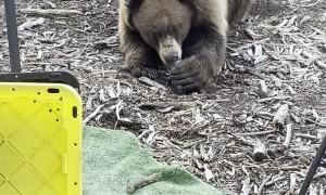 Raiding Bear Leaves Slobbery Sugar for Campers