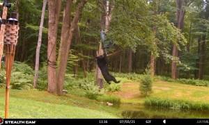 Bear Swings From Bird Feeder