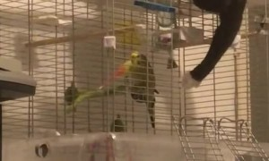 Caring Kitty Shoos Bird Bud Back into Cage