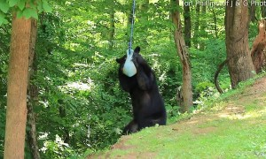Black Bear Playing With a Jolly Ball