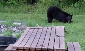 Injured Bear Drops By to Visit His Human Friend