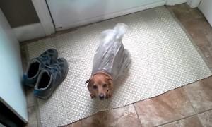 Dog Gets Stuck in Bag While Stealing Garbage