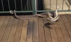 Darwin Carpet Pythons on the Balcony