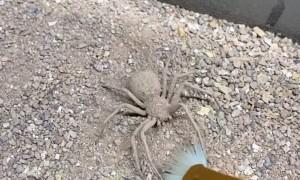 Six Eyed Sand Spider Vs Paintbrush