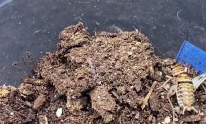 Ravine Trapdoor Spider Ambushes Its Next Meal
