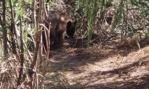 Bear Cubs Head to the Beach for a Swim