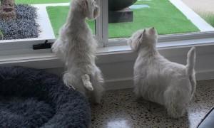 Two Westies on Kangaroo Watch