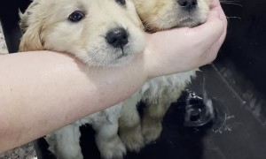 Double Spa Day for Adorable Puppy Duo