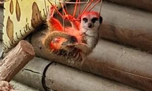 Meerkat Hangs Under Heat Lamp