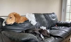 Retriever Ruins Sofa in Search of Ball