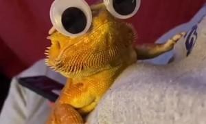Big Eyes for Bearded Dragon