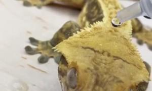 This gecko literally has waterproof skin