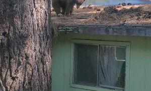 Young Bear Makes a Home Out of a Human's Roof