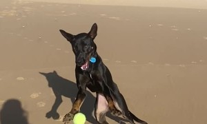 Kelpie Can't Quite Keep Up With Bouncing Ball