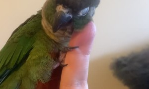 Adorable Green Cheek Conure Gives Himself Head Scratches