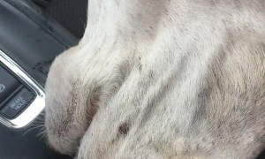 Thirsty Camel Pokes Head Inside Car for a Cup of Water