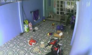 King Cobra Tries to Follow Child Inside