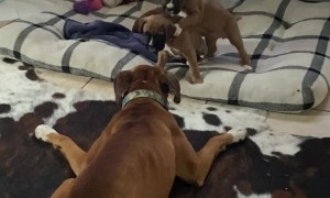 Boxer Babies Play with Their Aunt
