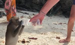 Thirsty Thai Monkey