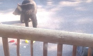 Momma Bear Tugs Trashcan Over Railing
