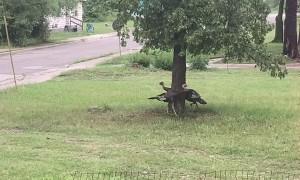 Turkeys Enjoying Some Playtime Around a Tree