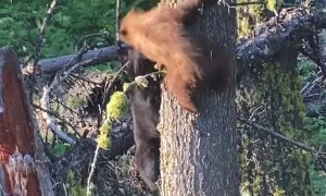 Bear Cubs Tussle Around the Tree Trunk