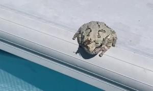Frog Flicks Annoying Bug Into Pool