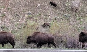Bison and Babies Cross the River